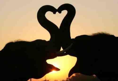 elefant herz